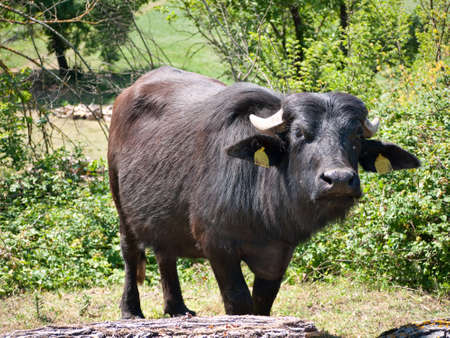 differential: buffalo - differential focus Stock Photo