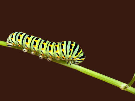 Swallowtail butterfly caterpillar macro - Papilio machaon photo
