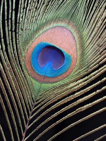 turqoise: Peacock feather macro over black Stock Photo