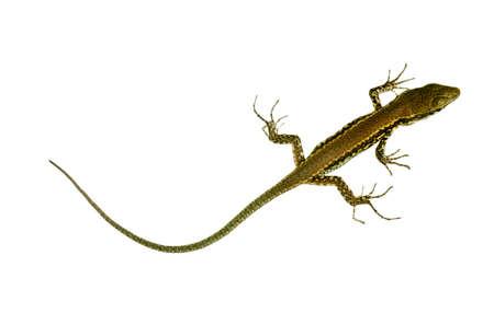 lagartija: Lagarto de cola larga pared, sobre el blanco Foto de archivo