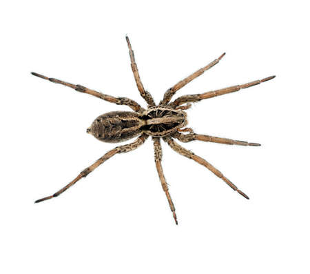spider: Big hairy ugly Wolf spider macro