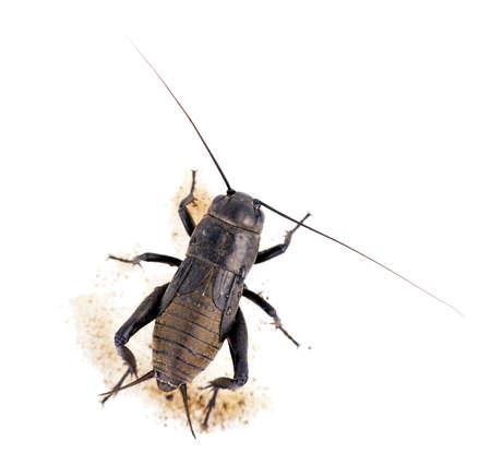 Tierra del grillo de insectos de más de blanco Foto de archivo - 10618710