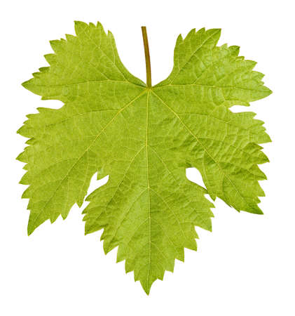 Vine leaf isolated