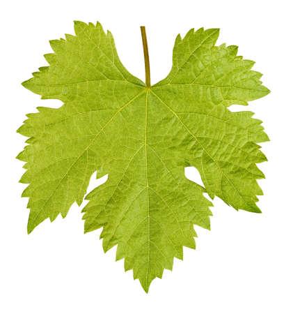 Vine leaf isolated
