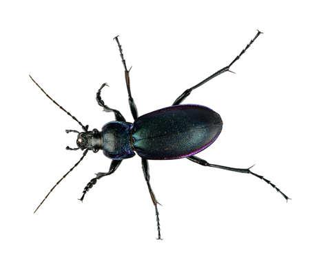 carabus: Violet fground beetle, isolated - Carabus violaceus