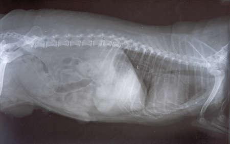 Small dog (Yorkie) X-ray scan with cancer pathology Standard-Bild