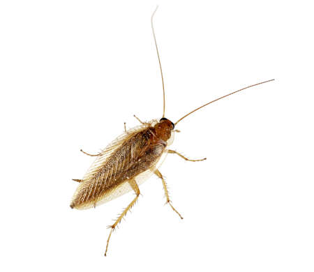 German cockroach, Blatella Germanica, isolated over white background