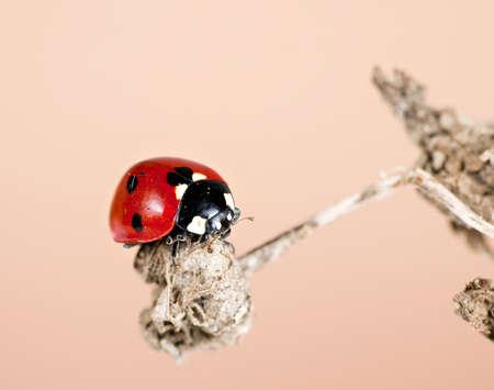 coccinella: Ladfybird aka ladybug in habitat on seedhead