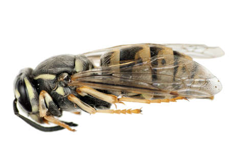 imago: Wasp imago profile (underside also available on this site)