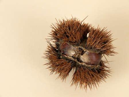 castanea sativa: Castanea sativa - sweet chestnut
