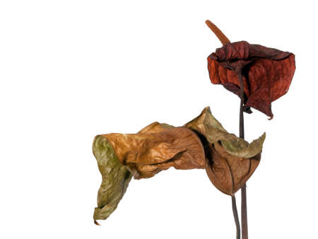 mortality: Old and dry Anthurium flower - ageing concept