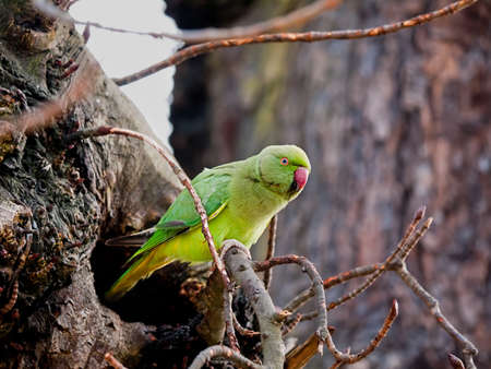 Parakeet living wild in London, UK, with nesting hole