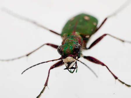 cicindela: Green Tiger Beetle macro - Cicindela campestris, scary face-on Stock Photo