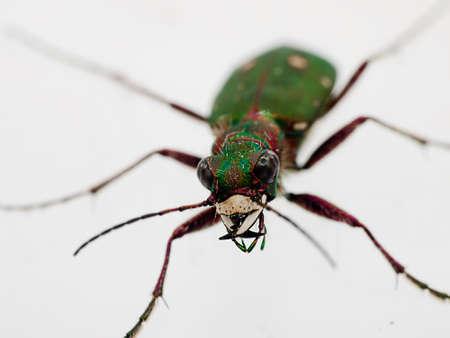 tiger beetle: Verde Tiger Beetle macro - Cicindela campestris, pauroso faccia-on Archivio Fotografico