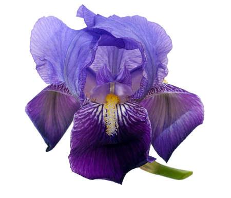 흰색 통해 격리 된 아이리스 꽃, 스톡 콘텐츠