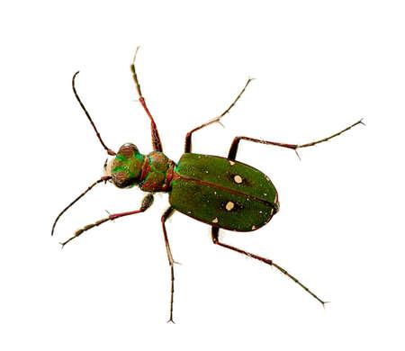 tiger beetle: Verde Tiger Beetle macro - Cicindela campestris Archivio Fotografico