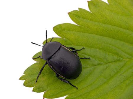 geotrupes: Beetle peers over the edge - daring, decision metaphor