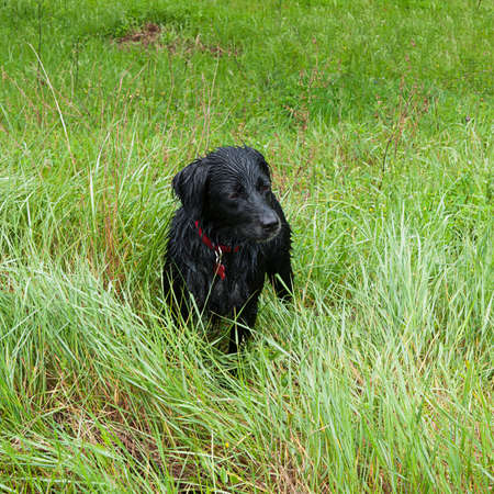 soggy: Soggy dog in field after run in the rain Stock Photo