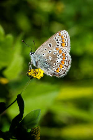 Common Blue butterfly - Polyommatus icarus photo
