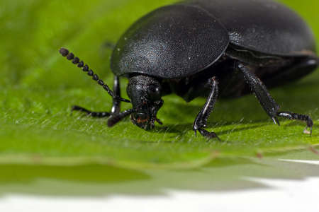 Black beetle on leaf, macro closeup Stock Photo - 13699301