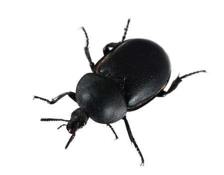 geotrupes: Dung aka dor beetle, isolated