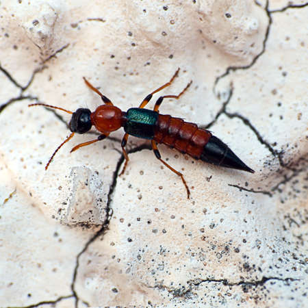 Rove Beetle insect macro