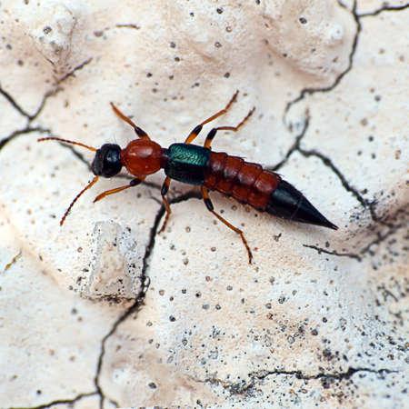 Rove macro escarabajo insectos Foto de archivo - 13699266