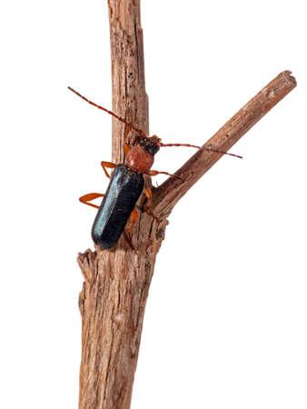 Soldier beetle macro - Cantharis rustica