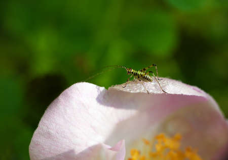 Baby grasshopper on wild rose photo
