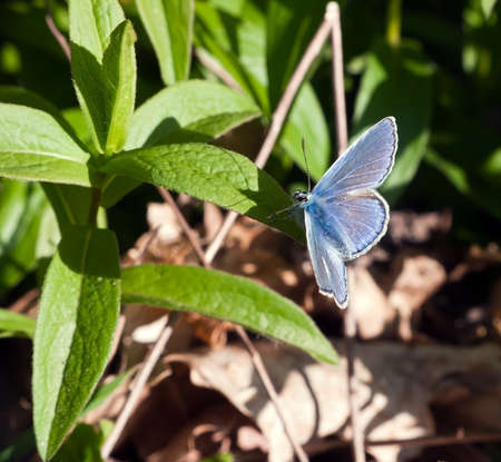 icarus: Common Blue butterfly - Polyommatus icarus