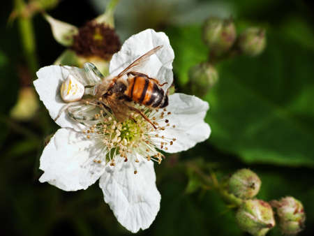 thomisidae: Crab spider and prey in brambles Stock Photo