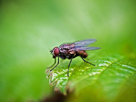 housefly: Housefly - Musca domestica Stock Photo