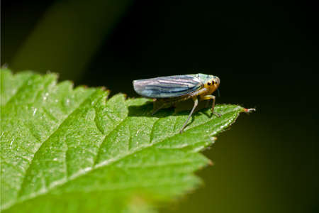 viridis: Cicadella viridis - leafhopper macro