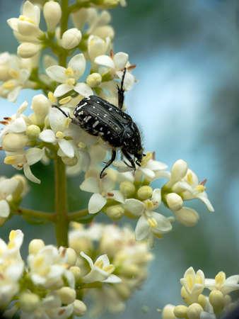 spangled: Spangled flower beetle - Euphoria sepulcralis