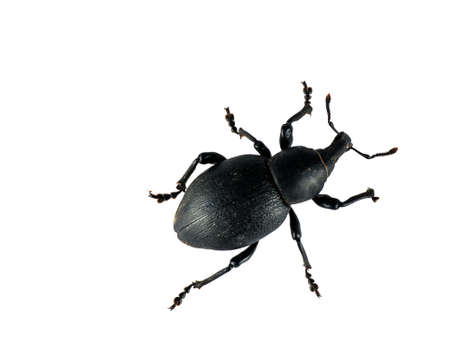 weevil: Large black weevil over white