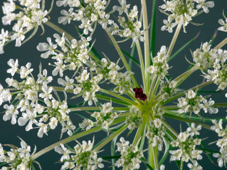 lacey: Wild carrot with unusual red centre - unique  Stock Photo