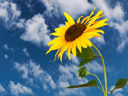Sunflower against sky Stock Photo - 14829723