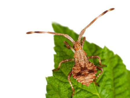 squash bug: Dock bug nymph - Coreus marginatus