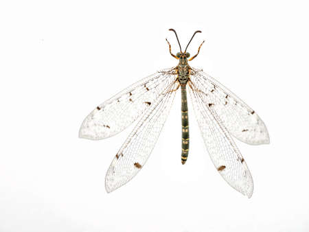 lacewing: Antlion aka ant-lion lacewing, overhead, wings visible Stock Photo