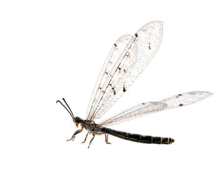 lacewing: Antlion aka ant-lion lacewing, wings outspread, isolated