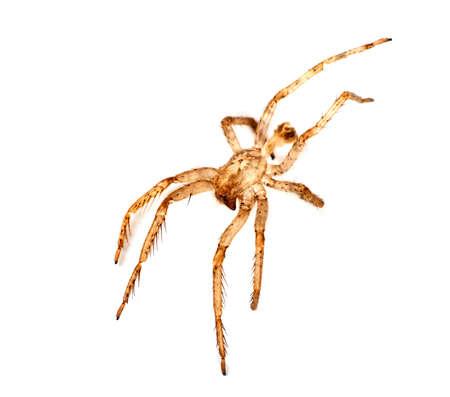 exoskeleton: Spider exoskeleton, isolated over white