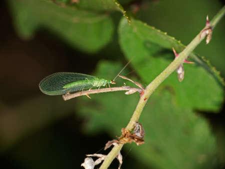 chrysope: Chrysope verte dans l'habitat - Chrysopa Banque d'images