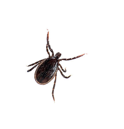male wood tick: Castor bean tick isolated Stock Photo