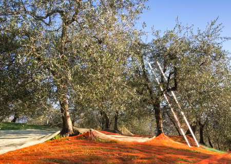 Traditional olive harvest, Italy photo