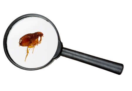 canis: Dog tick under magnifying glass