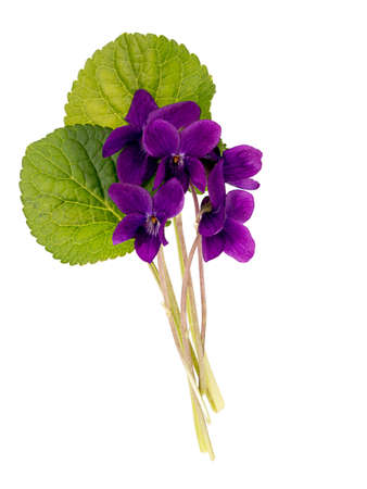 violets: Wild spring flowers - dog violets