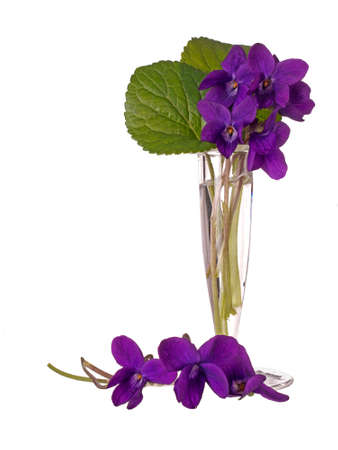 Dog violets - spring wild flowers, isolated photo