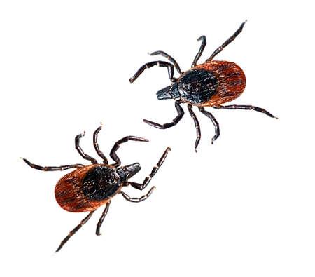 Two dog ticks - Ixodes scapularis, isolated over white