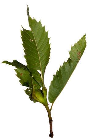arbol de problemas: Dryocosmus kuriphilus da�os - problema Casta�o, irrita