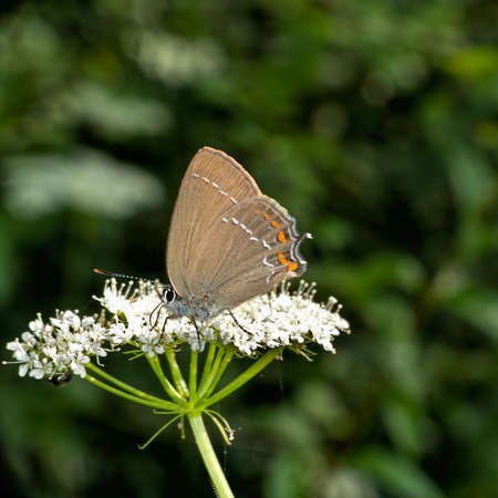 Ilex Hairstreak butterfly photo